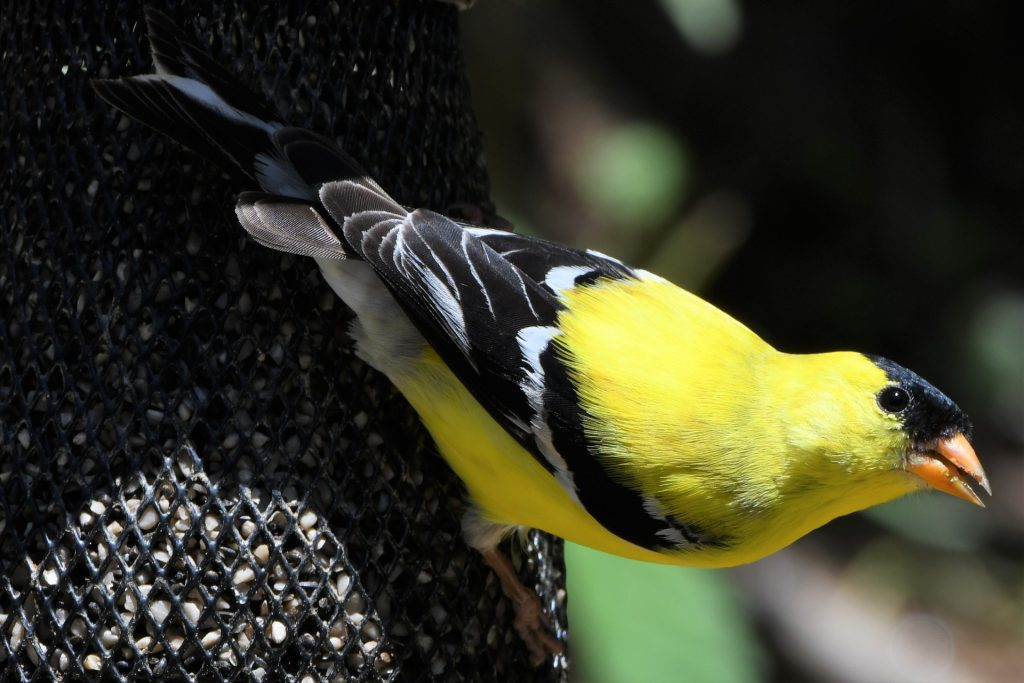 New Jersey State Bird Fun Facts About The American Goldfinch